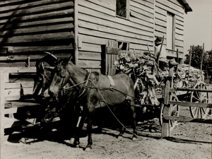 Two Men Unloading Tobacco with Horse and Cart