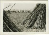 Stacks of hemp stalks in a hemp field
