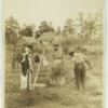 Digging peanuts in South Carolina