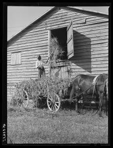 Negro helper putting peavine hay into barn loft. Mr. J.V. Harris' farm, nine miles south of Chapel Hill on Highway 15. Chatham County, North Carolina
