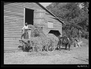 Negro helper putting peavine hay into barn loft. Mr. J.V. Harris' farm, nine miles south of Chapel Hill on Highway 15, Chatham County, North Carolina