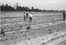 Cotton choppers [Slide Farm-4]