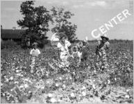 Cotton Farming, circa 1940